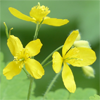 Wart Mole Vanish Ingredient - Greater Celandine Plant