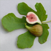 Wart Mole Vanish Ingredient - Fig